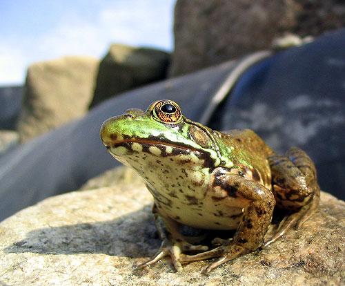 Close Frog