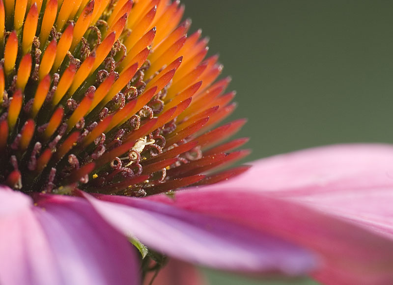 Cone Flower Closeup