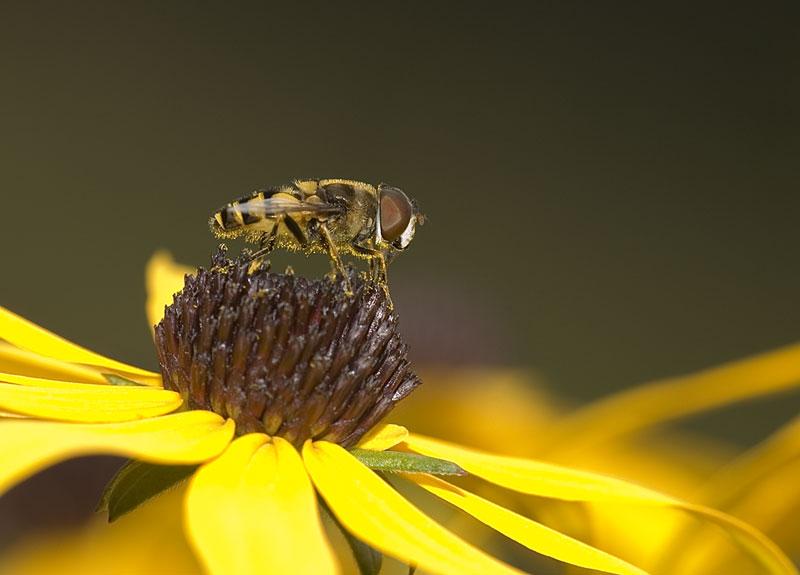 Pollen Belly