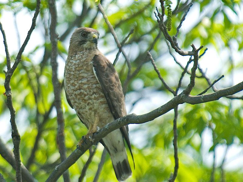 Zane's Hawk