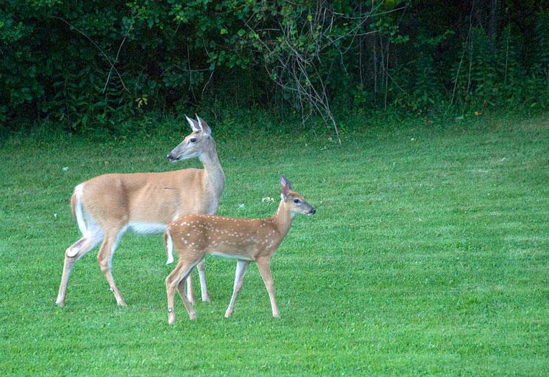 Mom deer with faun