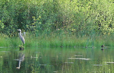 Heron and Duck standoff