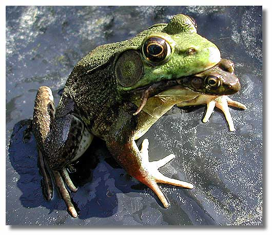 Frog eat Frog world