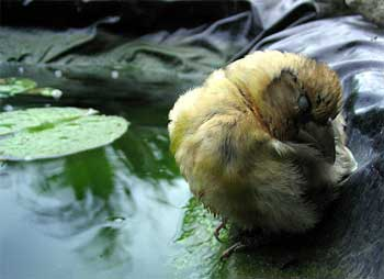 Baby Bird at Pond