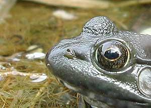 frog meditation