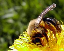pollen frenzy