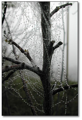 Pearly dew drops ride the spider line
